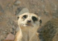 Bezártak az állatkertek, szomorkodnak a szurikáták