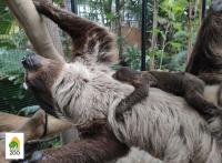 Lajhárbébi született a budapesti állatkertben
