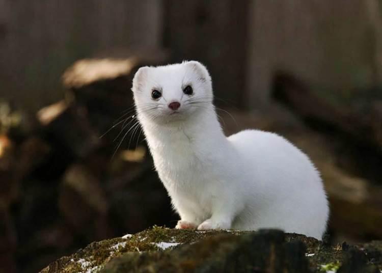 2021 Év Emlőse a hermelin
