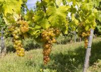 Magyar bor nyert aranyat Moszkvában