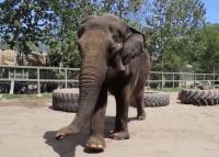 60 éves lett a San Antonio állatkert legidősebb elefántja, élő videóban bulizott a haverokkal